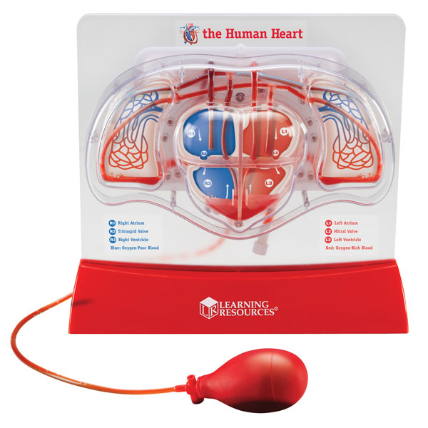 Image of Learning Resources - Pumping Heart Model - 300mm x 270mm