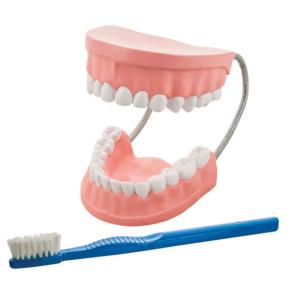 Image of Eisco AM0050A - Giant Dental Care Model - 530 x 170 x 70mm