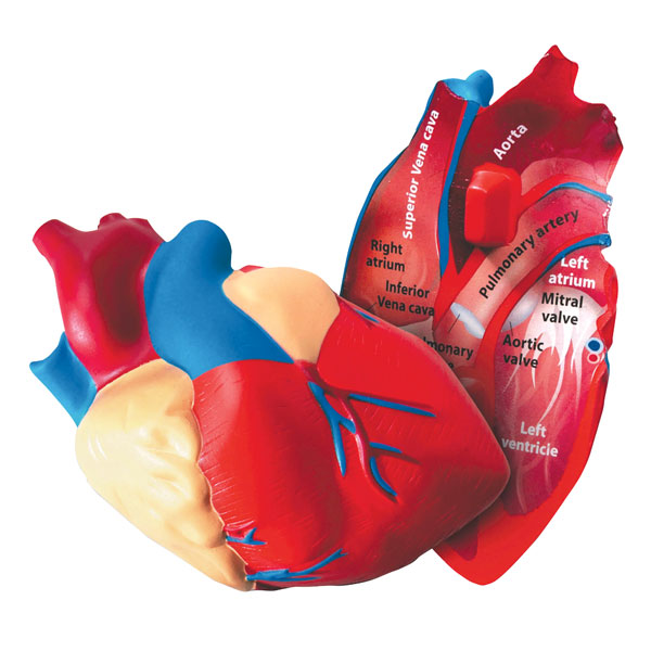 Image of Learning Resources - Cross Section Foam human Heart Model - 130mm ...
