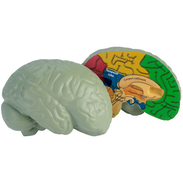 Image of Learning Resources - Cross Section Foam Human Brain Model - 130mm ...